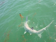 key largo hammerhead shark