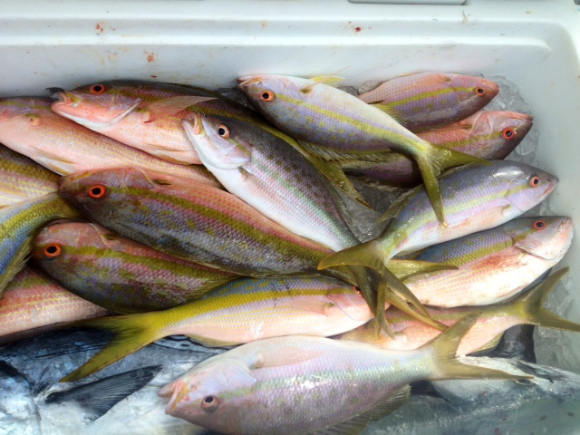 key largo yellowtail