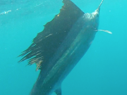 sailfish key largo