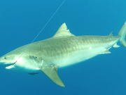 key largo tiger shark